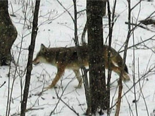 cnt coyote sightings
