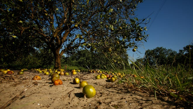 Large numbers of oranges sit on the ground at the Story Grove orange grove in the wake of Hurricane Irma on September 13, 2017 in Lake Wales, Florida.