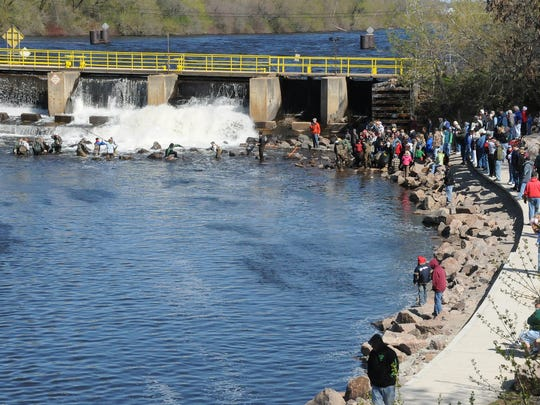 Sturgeon watchers migrate to the Shawano Dam to get close-up looks at spawning sturgeon each spring.