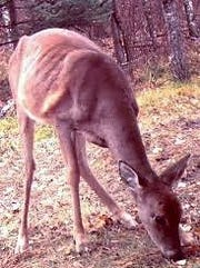 This is a deer that has CWD. Cases were confirmed in