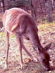 This is a deer that has CWD. Cases were confirmed in Tennessee last year.