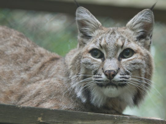 A bobcat named Zeus, one of the permanent residents
