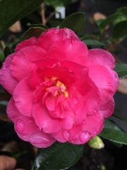 'Shi Shi Gashira' camellias are very popular, blooming