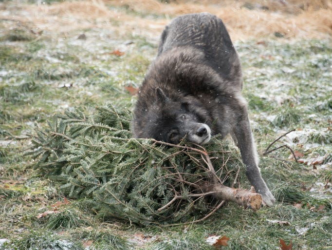 A gray wolf named Kaska plays with a recycled holiday