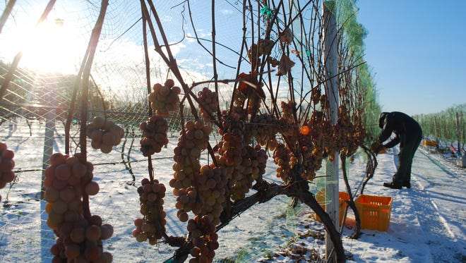 Grapes for Parallel 44's Ice Wine were harvested last November after they were frozen on the vine.