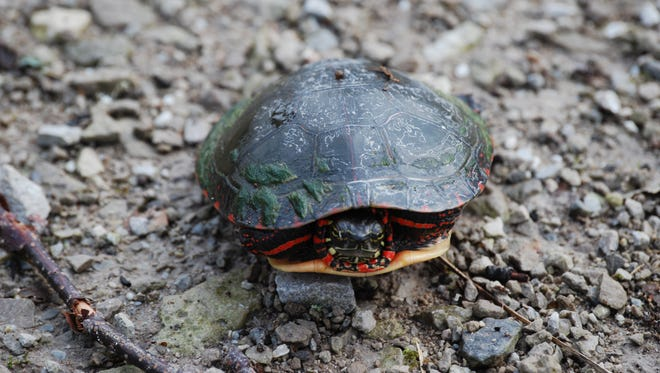 Painted turtles are among the common turtles in Michigan.