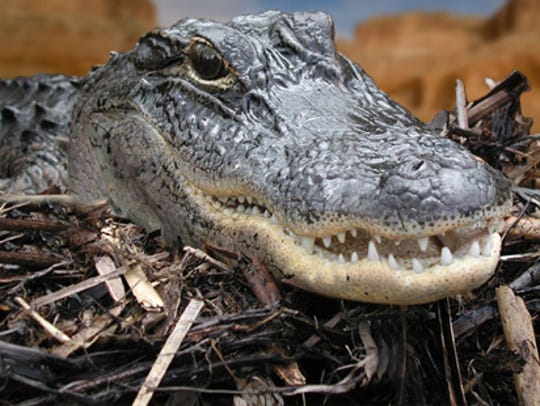 An American alligator lies on a bed of sticks at the