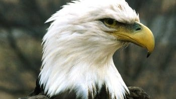 Two bald eagles were among the wildlife poisoned by two Wisconsin farmers.
