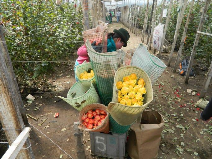 A rose nursery worker loads up.