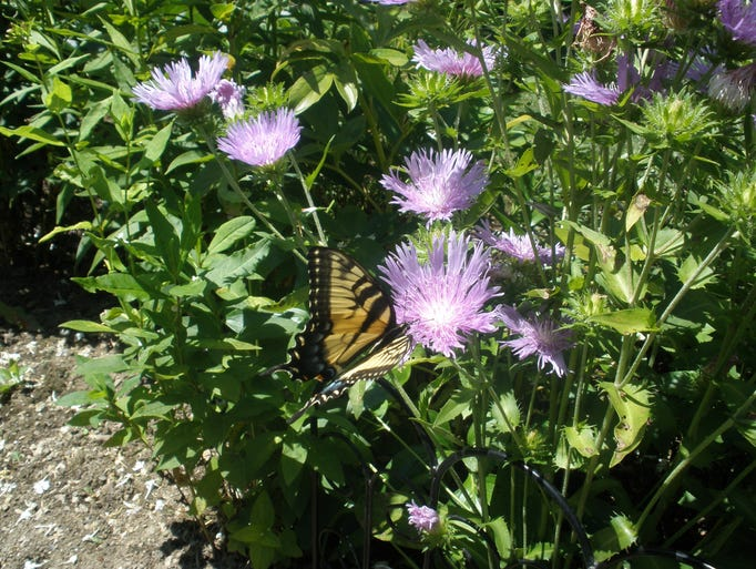 Butterfly in a Chatham garden.