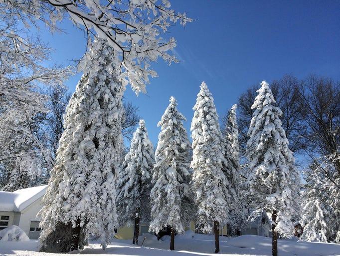 Wintry wonder: Snow coats evergreen trees Wednesday