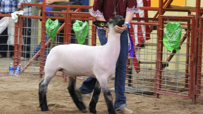 Maison Treadwell was busy all evening showing animals for the Junior Livestock Sale at the SW New Mexico State Fair Saturday.