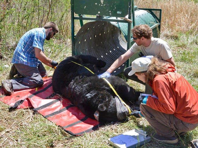 Nick Gould (blue shirt), Craig Reddell (tan shirt) and Jennifer Strules (orange shirt) measure the length of a 311 pound male black bear they captured in a bear trap and tranquilized to attach a GPS collar to the bear in East Asheville. Nick is an NC State PhD student managing the project to capture and collar 40 black bears in Buncombe County. Craig and Jennifer are NC State University wildlife research technicians. 04/23/2014