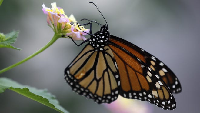 The number of monarch butterflies overwintering in Mexico this year jumped to 150 million, up from 42 million last year.