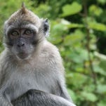 In addition to smaller macaque monkeys, the Mannheimer Foundation also has baboons.