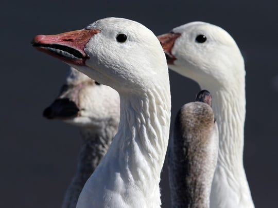The arrival of snow geese at Bosque del Apache always excites birders