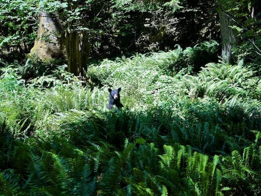 Black bear peaks from ferns in the Hoh River Valley, Olympic National Park.