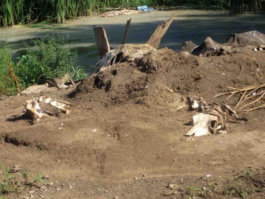 Cattle carcasses that are dumped and left to decompose