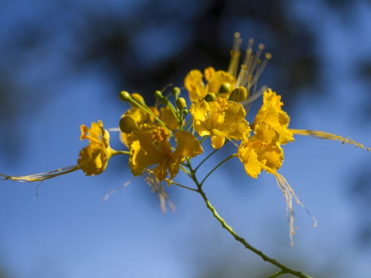 The yellow flowers of a dwarf poinciana at Berne Davis Gardens in Fort Myers are set against the blue sky. The gardens are open every  Tuesday.