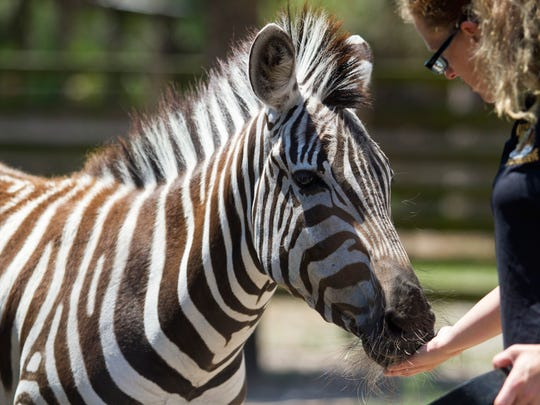 Michelle Augustyn greets the zebra at Kowiachobee Animal Preserve in Golden Gate Estates while giving a tour on Tuesday.