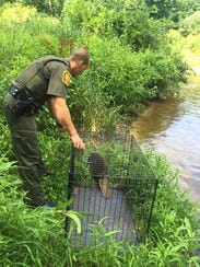 Pennsylvania Game Commission officers relocated a beaver