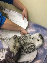 A second snowy owl, rescued by the Humane Wildlife