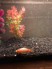 The fish named Ijams swims around in his new aquarium