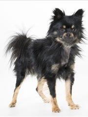 Spike, 2-year-old male Pomeranian mix dog. No. 100293.