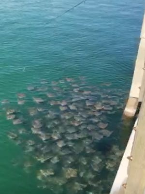 Pensacola Beach Gulf Pier manager Mike Pinzone captured video of a fever of stingrays on Sunday morning.