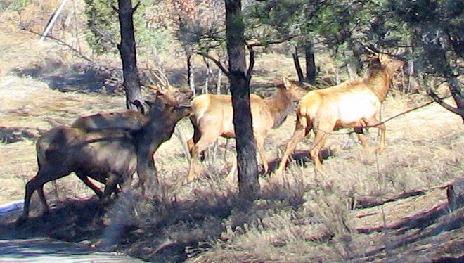 Interrupted in their munching, the elk turn toward the path upward and run.