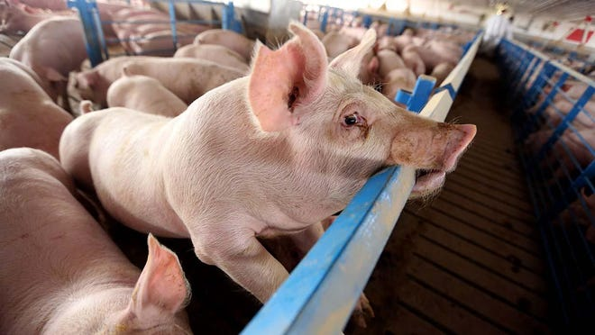 Market hogs are shown Wednesday April 23, 2014 at a facility northeast of New London.