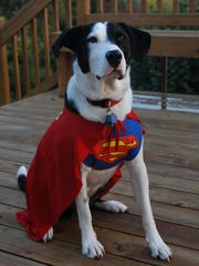 Scout, owned by vet Dr. Judy Reed, loves his Superman costume and runs around the house letting his cape fly in the wind.