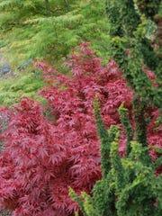 Chamaecyparis obtusa Habari foreground, Acer palmatum Royle (red) and Acer palmatum Emerald Lace (background).