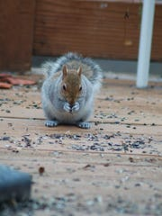 Squirrels stockpile nuts and seed for the coldest days of winter.