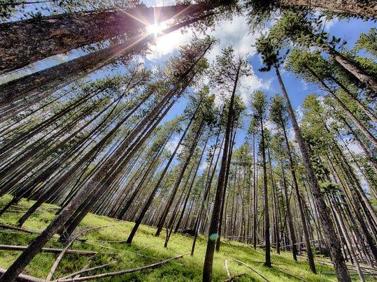 -lodgepole pine.jpg_20140628.jpg