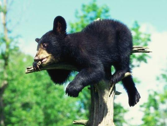 Bear placeholder