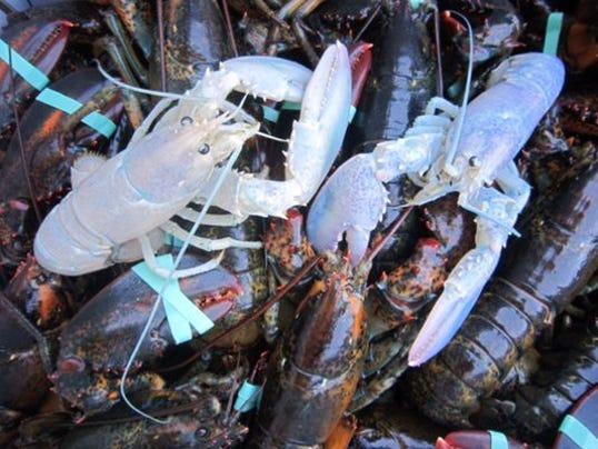 albino lobster ap
