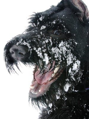 Max, the giant schnauzer, wears an excited face in this Star file photo.