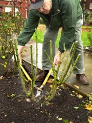 Fall is a good time to clean up plants by removing unhealthy canes, but you can wait until spring to cut them back to 18 inches tall.
