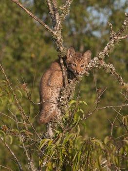 Bobcat Kitten by Ronnie Maum