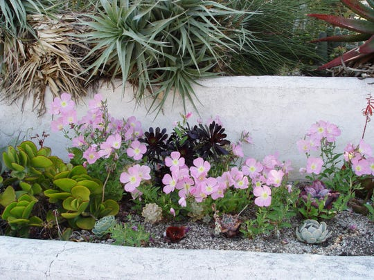 Grow Mexican primrose within boundaries such as these stucco walls that check root spread.