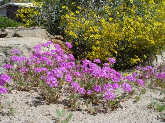 The beautiful native verbena wildflowers and bright yellow brittlebush, both indigenous to the Coachella Valley.