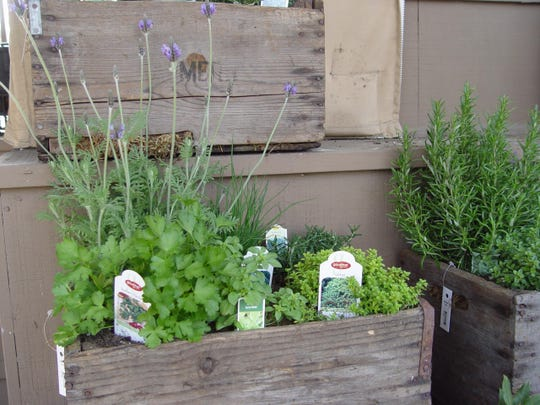 Cilantro is one of the best annual herbs to grow in any kind of pot on a sheltered porch or patio in the depths of our mild winters.