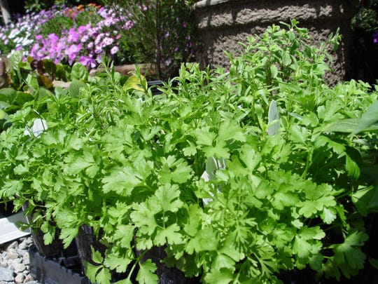 Broad fan shaped leaves of juvenile cilantro prefer cooler damp conditions that are frost free.