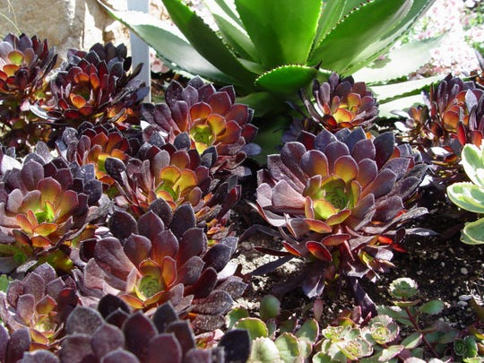 Aeonium is just one group of tender coastal succulents that offer great color but no frost or heat resistance.