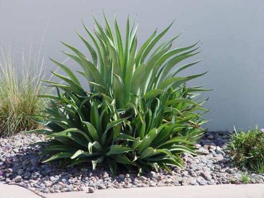 An Agave desmettiana surrounded by a wreath of offsets that alters its natural vase shape if not removed or transplanted.