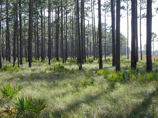 Longleaf pine forests make up a huge portion of the Apalachicola National Forest.