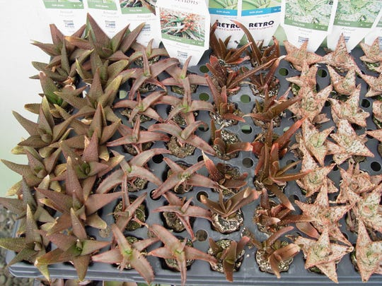 Pack your cuttings into damp dune sand and set in the shade to encourage rooting during the summer months.