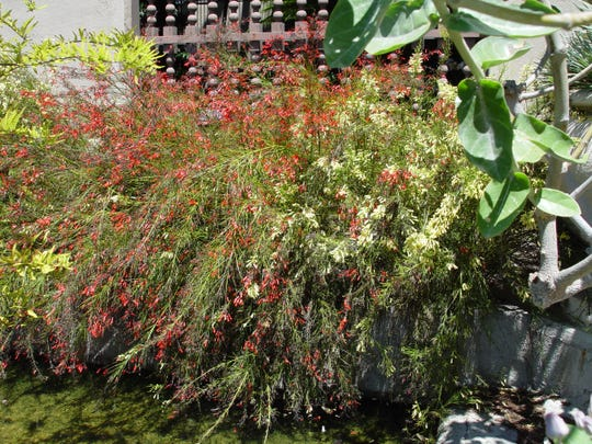 Russelia's weeping habit has long been used to cascade off retaining walls.