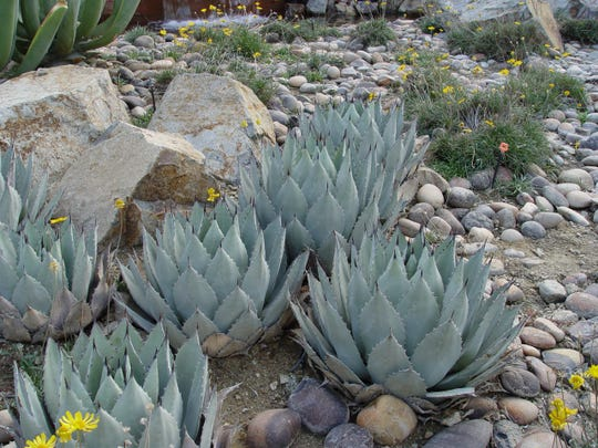 Agave parryi likes to live in groups and beside boulders to shade the soil for cooler root zone.